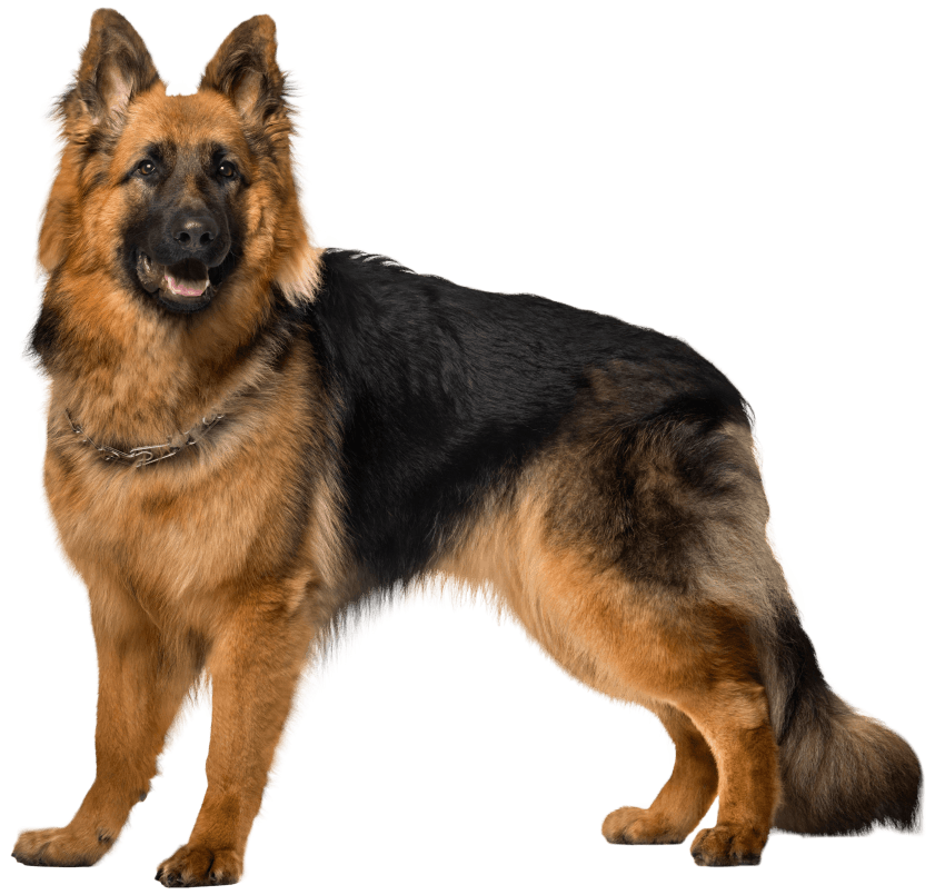 dog german shepherd png clip art 11532727610xxuk3iqpbr - Услуги по уходу за вашим любимцем